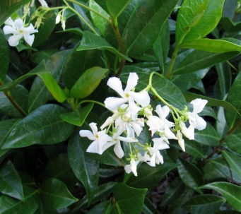 Image result for Star Jasmine